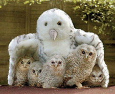 BABY OWLSsm